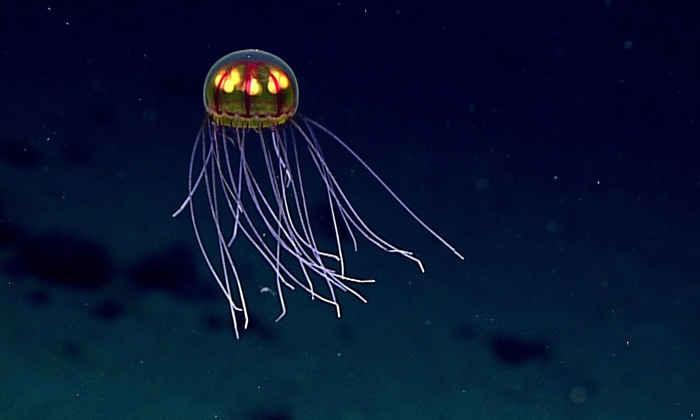 medusa de aguas profundas