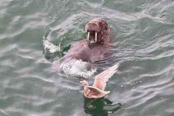 morsa juega con un ave marina