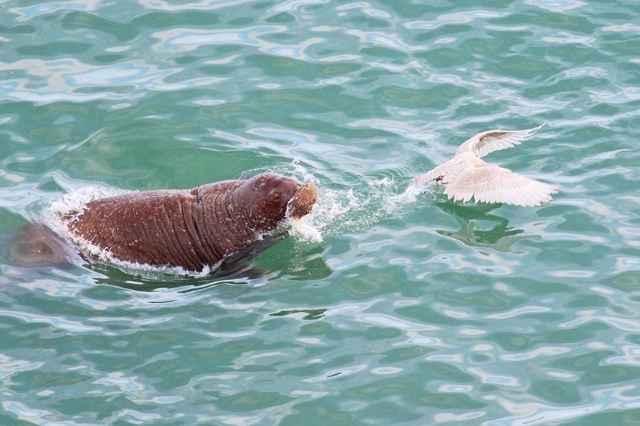 morsa persigue a un ave marina