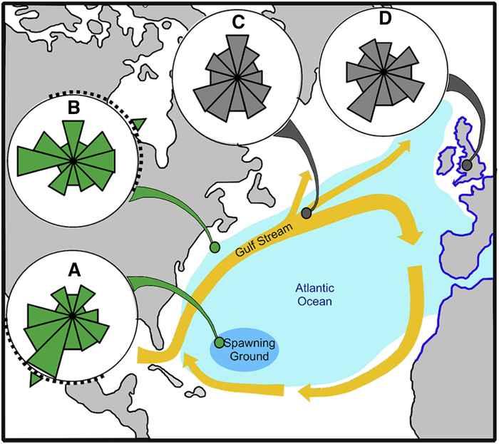 movimiento de las anguilas en su ruta migratoria