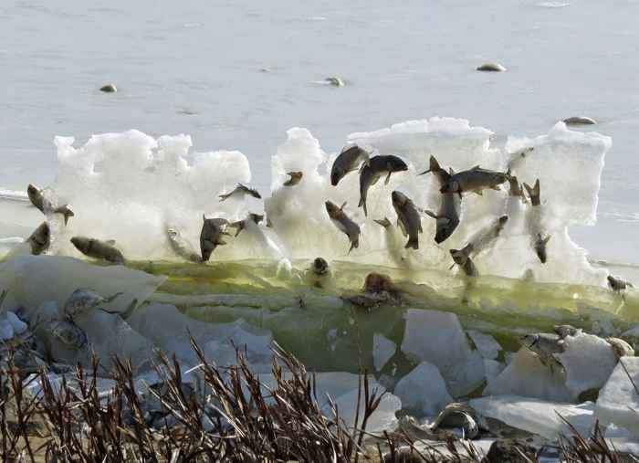 muro congelado de peces