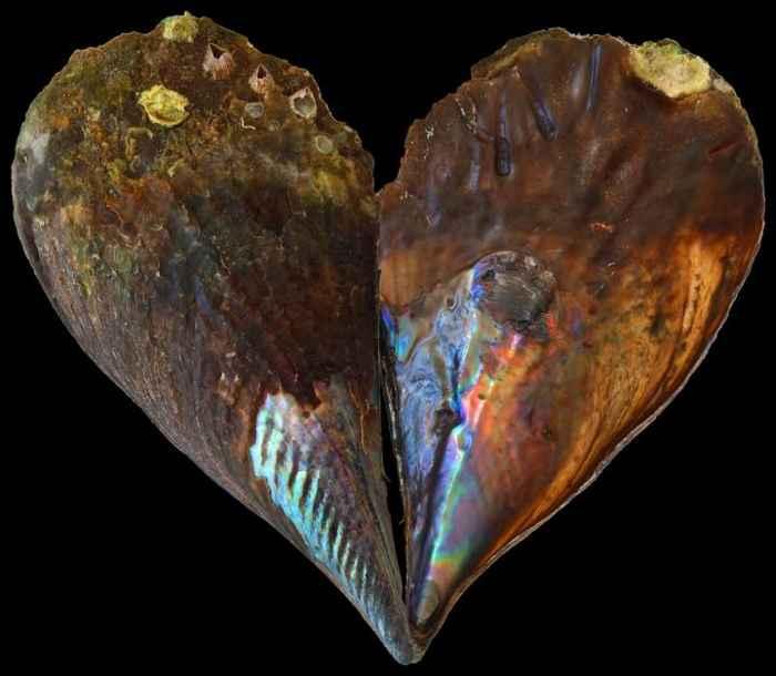 nacar en la concha de un molusco