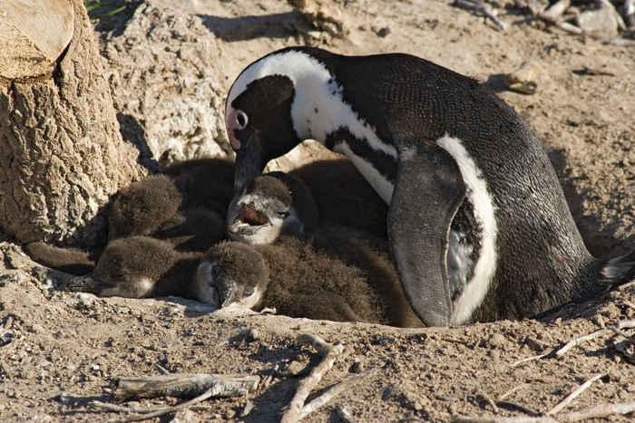nido de pingüino africano (Spheniscus Demersus)