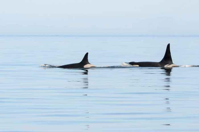 orca abuelita