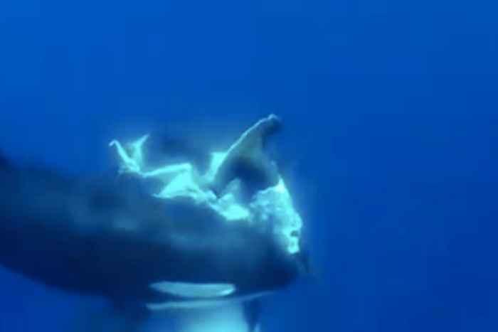 orca devora tiburón martillo