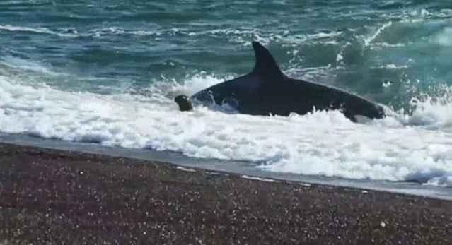 orca ataca a león marino en una playa de Argentina