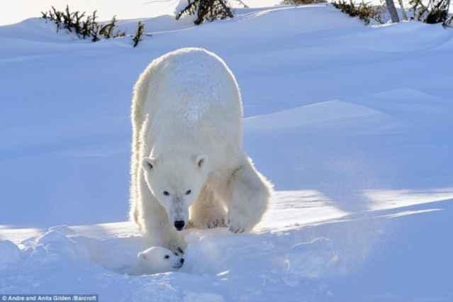 osito polar sale de su madriguera
