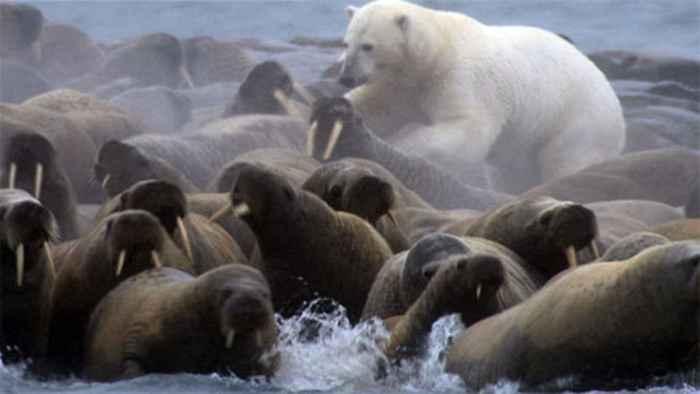 oso polar ataca una manada de morsas