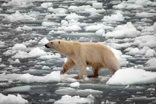 oso polar sobre el hielo marino