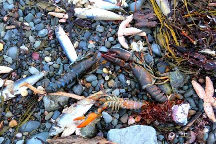 peces y langostas muertos en la costa de Canadá