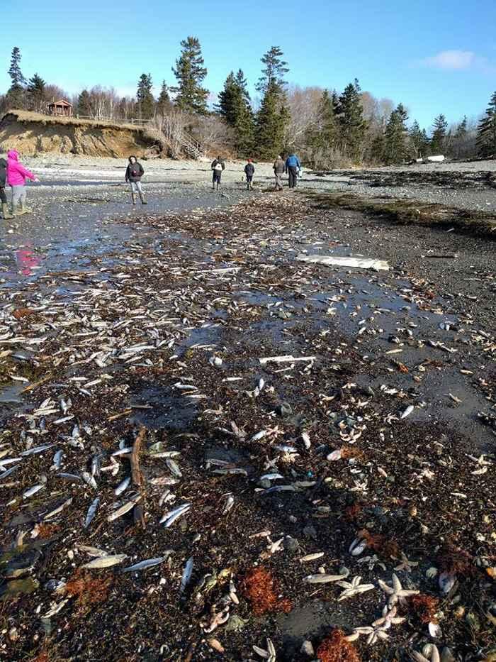 peces muertos en la costa de Canadá