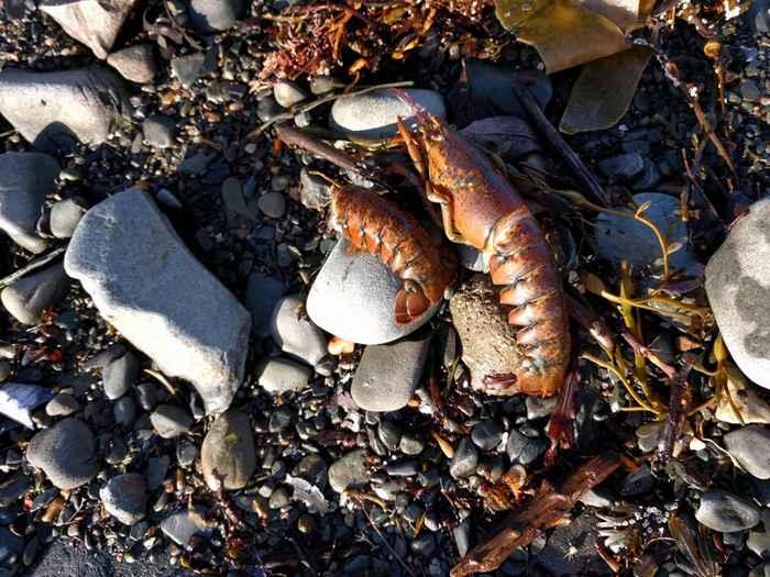 peces muertos en las playas de Canadá