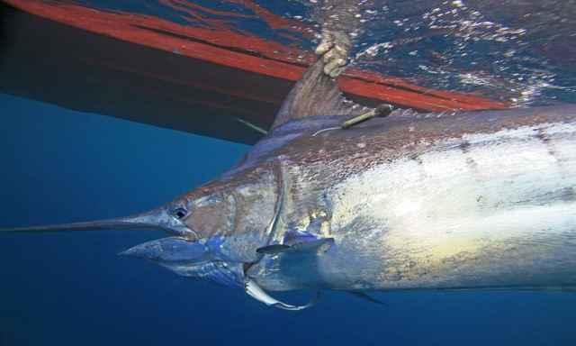 pez espada marcado