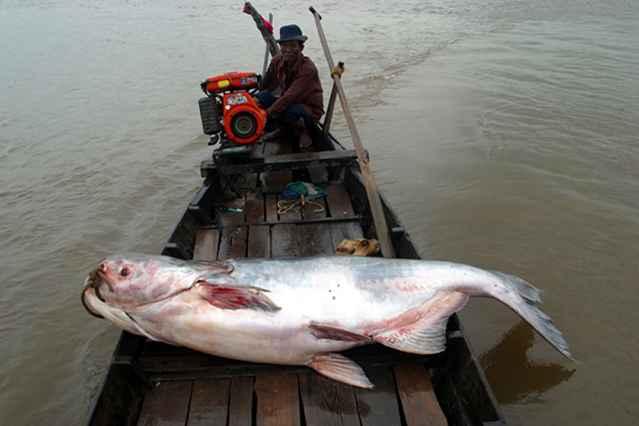pez gato gigante del Mekong