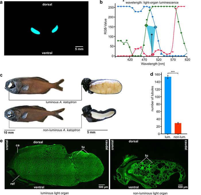 pez linterna Anomalops katoptron, pruebas de laboratorio