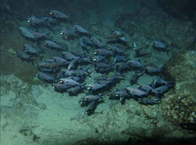 grupo de peces linterna (Anomalops katoptron)