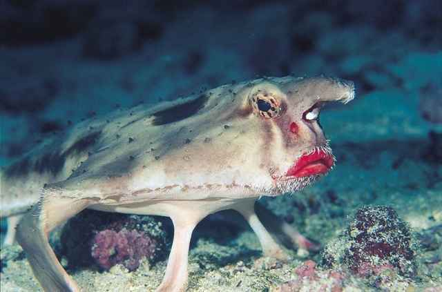 pez murciélago de labios rojos (Ogcocephalus darwini)
