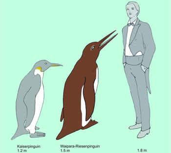 pingüino del río Waipara, comparación de tamaño