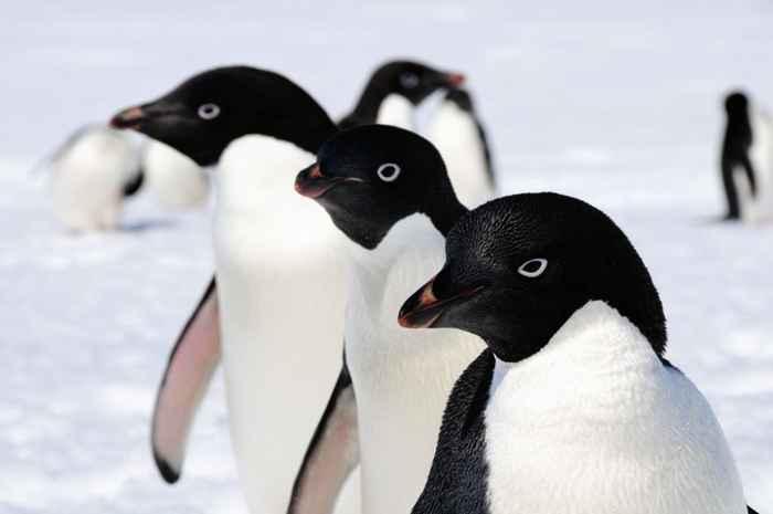 pingüinos de Adélie