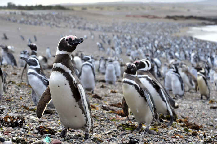 pingüinos de Magallanes en Punta Tombo, Argentina