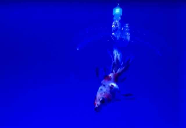 pinza robot de hidrogel atrapa un pez de colores