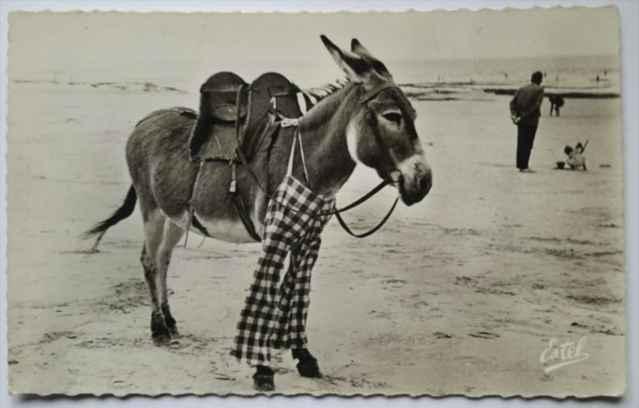 postal de un burro de Poitou