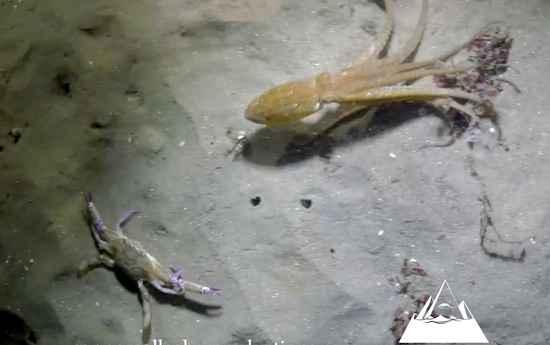 pulpo contra cangrejo