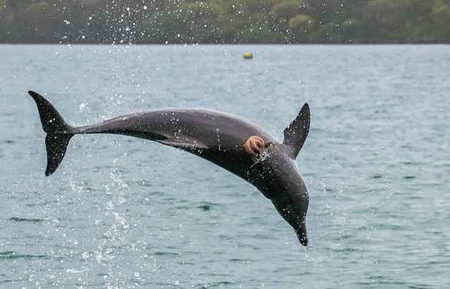 pulpo aferrado a la espalda de un delfín