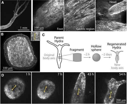 regeneración fibras citoesqueléticas de una hidra