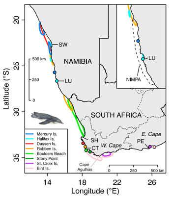 seguimiento de pingüinos africanos jóvenes