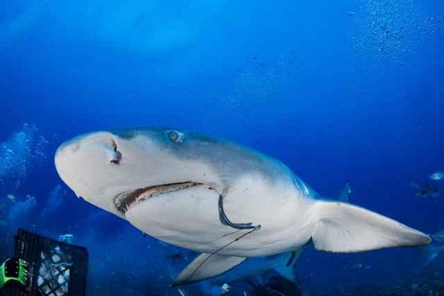 tiburón limón con un anzuelo en la boca