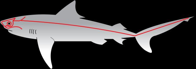 línea lateral de detección del tiburón blanco