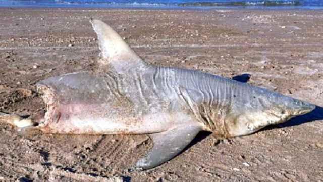 tiburón medio devorado en una playa de Florida