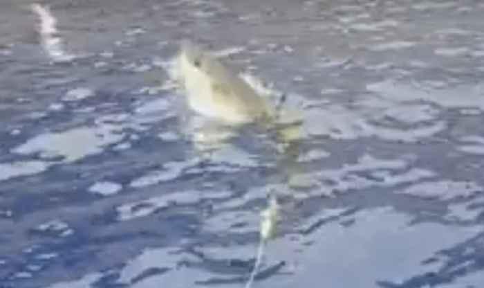 tiburón captura una gaviota