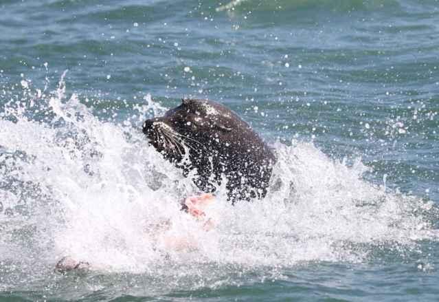 tiburón es  devorado por un león marino