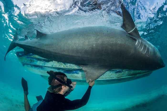 tiburón tigre en Bimini