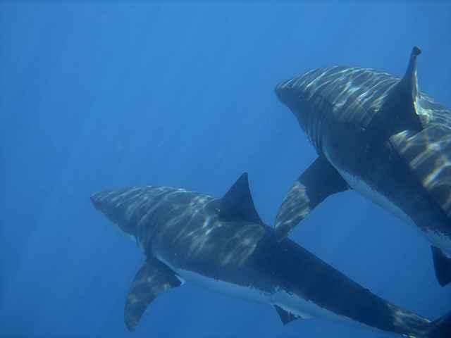 tiburones nadando en tánden