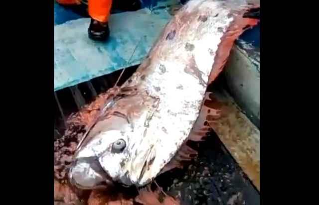 Pez remo capturado en Iquique, Chile