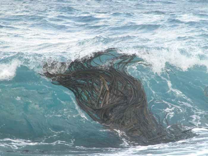 algas marinas flotando