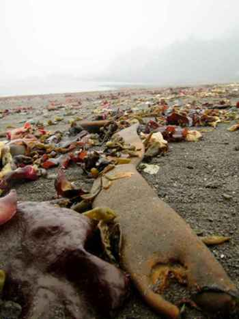 algas marinas en una playa de la Antártida