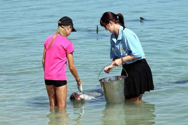 alimentación regulada de delfines en Shark Bay