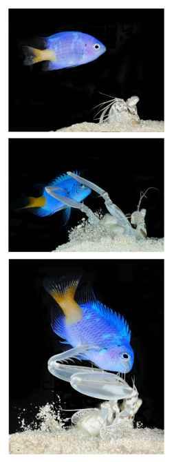 ataque de un camarón mantis