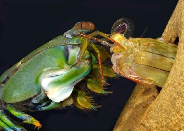camarón mantis, cortejo