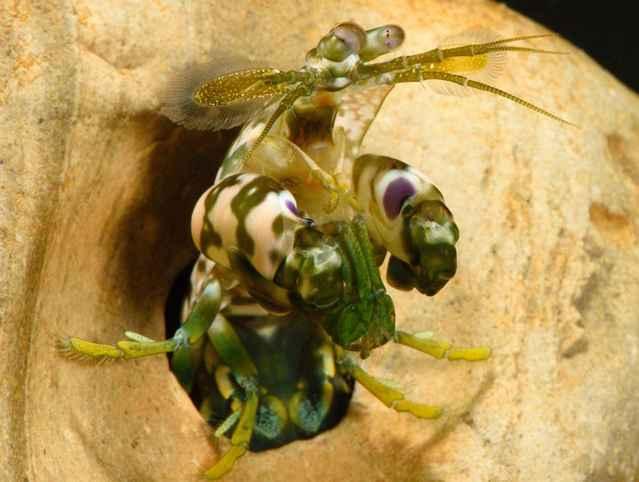camarón mantis en su madriguera