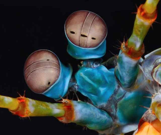 ojos compuestos del camarón mantis