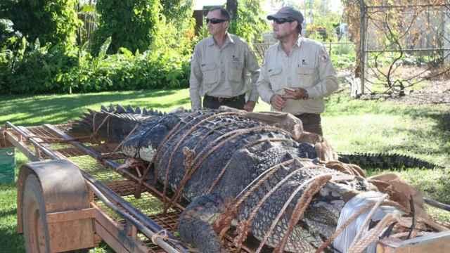cocodrilo de agua salada capturado en Australia