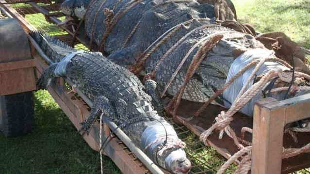 cocodrilos de agua salada capturados en Australia