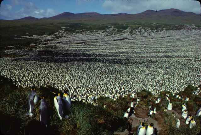colonia en Ile aux Cochons en 1982