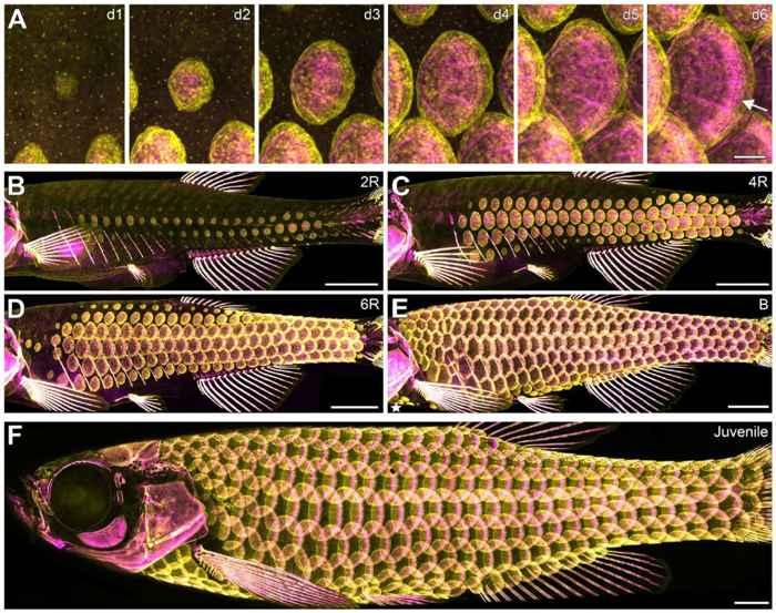 escamas de pez cebra
