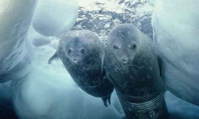 focas de Weddell (Leptonychotes weddellii)